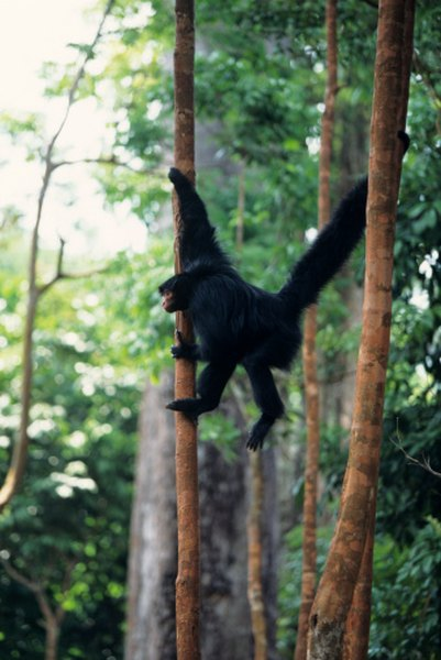 Black spider monkeys seldom descend to the ground.