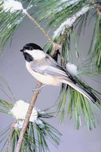Pine cone seeds are an important food source for black-capped chickadees.
