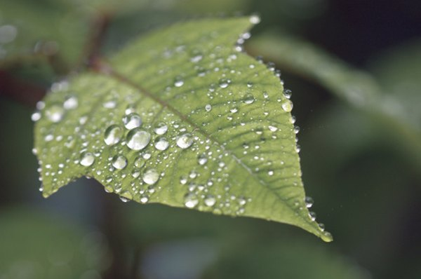 The cuticle repels water, causing water to bead on leaf surfaces.