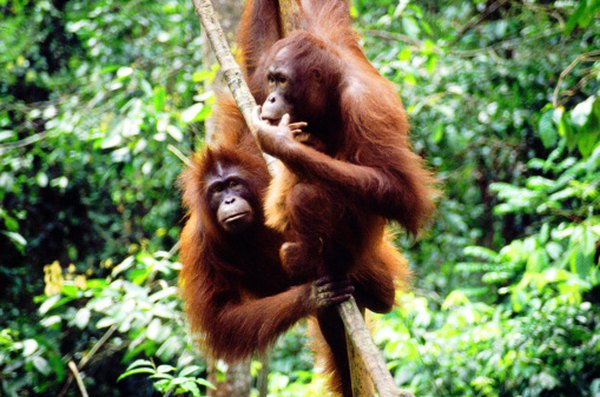 Orangutans are found in the rainforests of Malaysia and Indonesia.