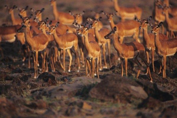 Impalas scatter to confuse predators.