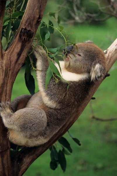Koalas are one of the few mammals that can survive on eucalyptus leaves.