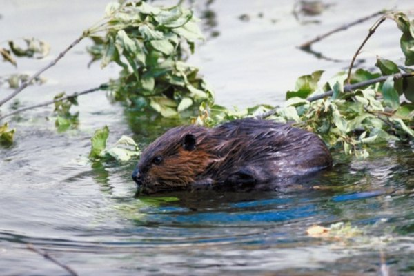 Typically nocturnal, beavers are sometimes active during the day in remote areas.
