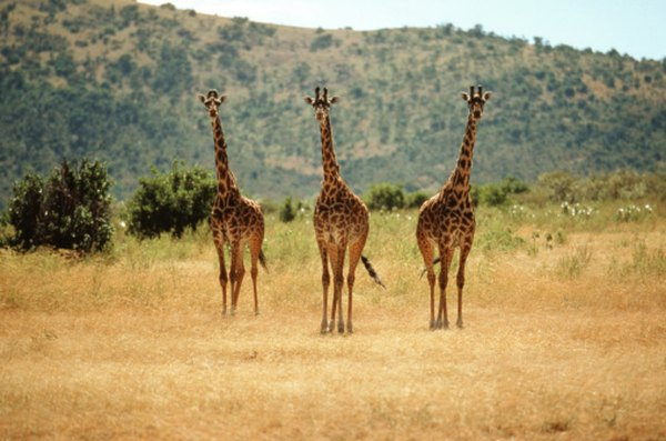 Giraffes on the savanna are a common sight in Africa.