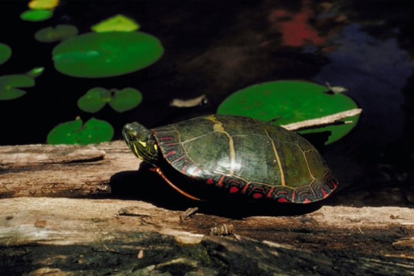 Painted Turtles have yellow and orange markings on the shell.