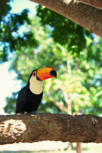 Toucans inhabit the tropical rainforests.