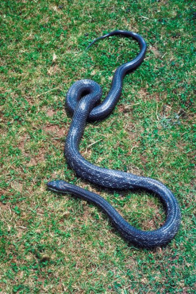 Black rat snakes can climb trees, where they may target southern flying squirrels in nests.