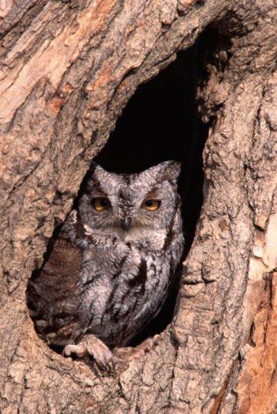 An eastern screech owl in a tree