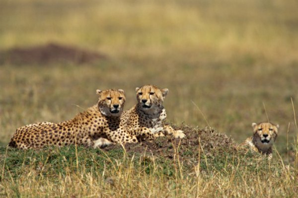 Cheetahs are known as the world's fastest land animal.