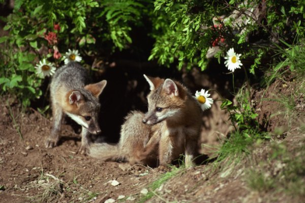 Gray fox kits outside their den.