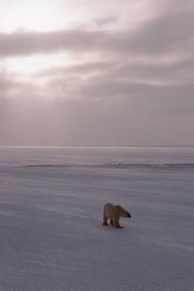 The Arctic polar bear is the largest mammal in the cold desert.