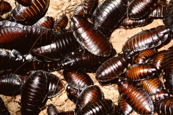 Cockroaches scavenge on other omnivores and some small carnivores.