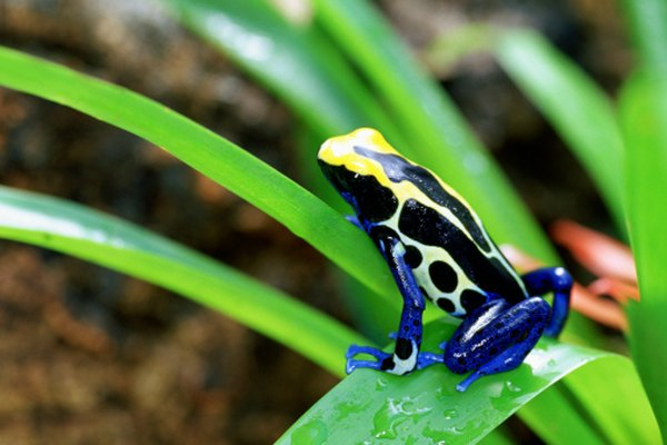 Predators will become very ill if they eat a poison arrow frog.