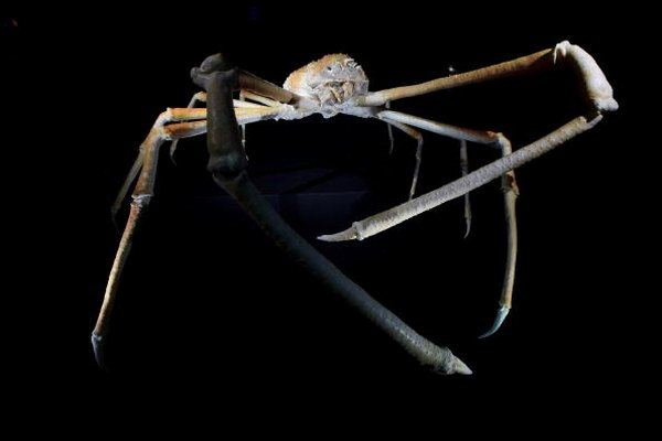 This sea spider can often be found picking at fallen detritus at the bottom of the ocean.