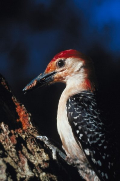 Several kinds of woodpeckers eat pine cone seeds.