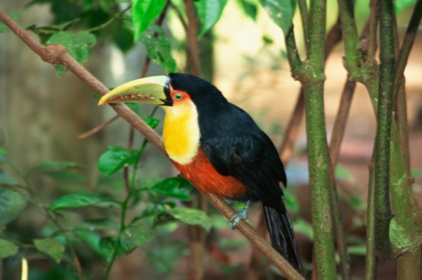 Like many rainforest creatures, the Toucan is brightly colored and lives on fruits.