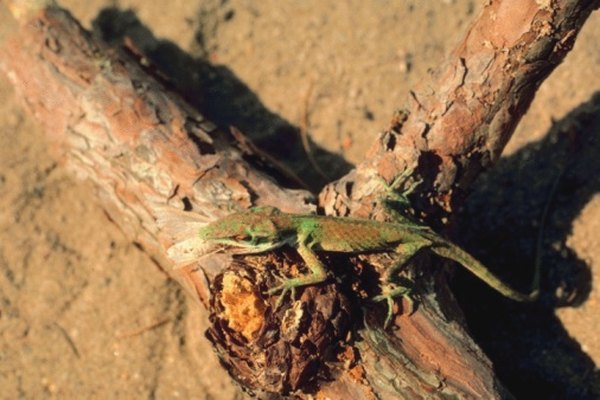 How To Make Traps For Anole Lizards Homesteady