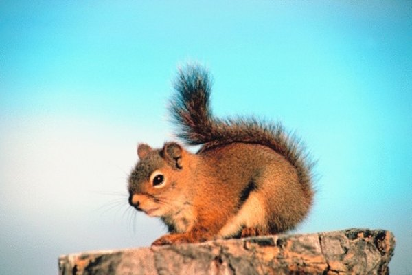 Red squirrels feed on seeds and other plant materials in coniferous forests.