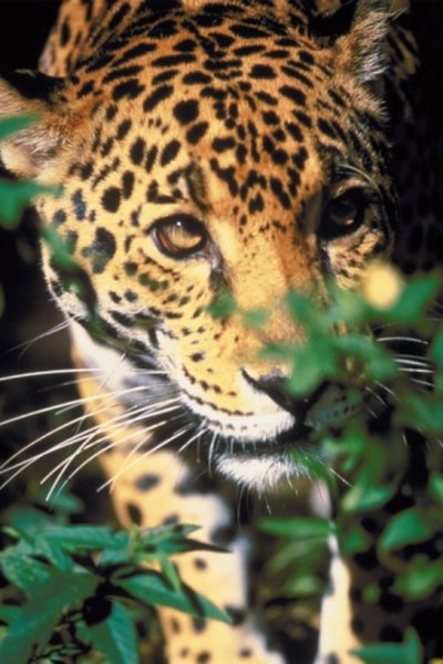 The jaguar is a predator of the South American tropical rainforest.