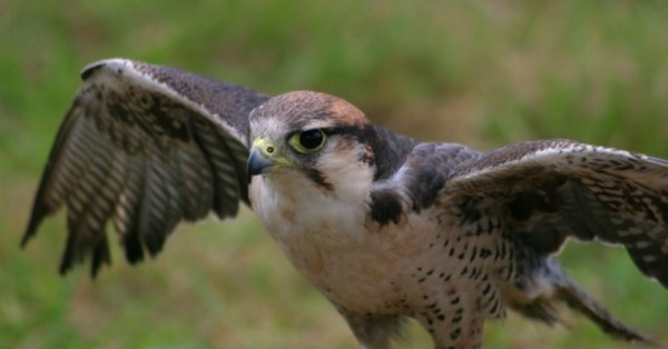 The hawk and other birds of prey often dine on iguanas.