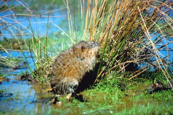 Muskrats live in slow-moving waters throughout Ohio.