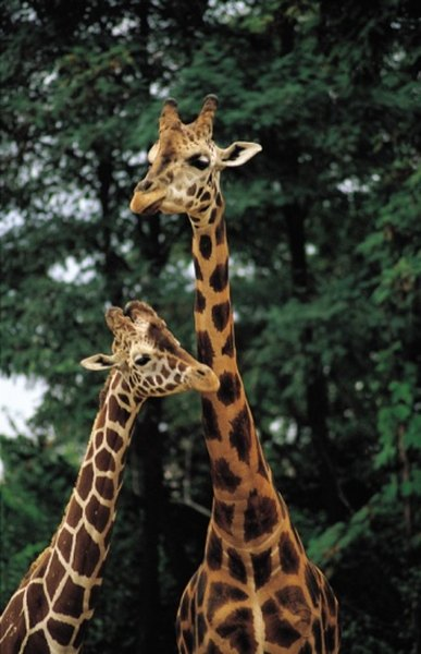 The giraffe's long neck evolved to allow it access to other food sources.