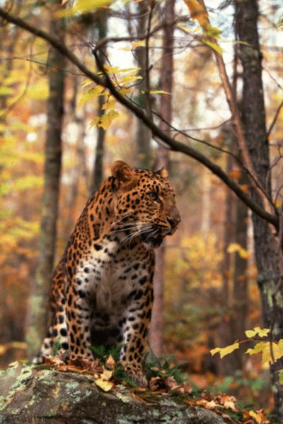 Amur leopards are critically endangered.