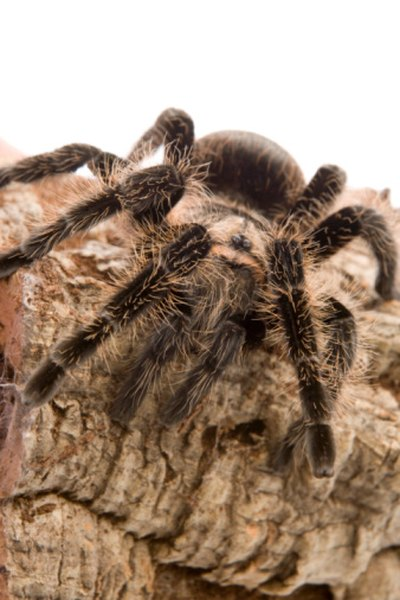Tarantulas are typically docile creatures.