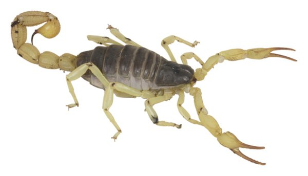 Types of Scorpions Native to Colorado