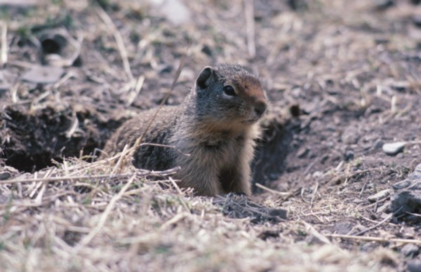 Gophers, moles and chipmunks can live in burrows.