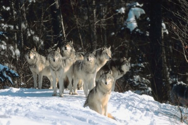 A pack of gray wolves awaits a winter meal.