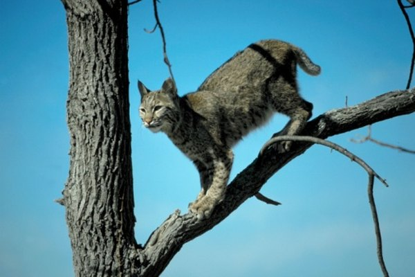 Bobcats are adept tree climbers.