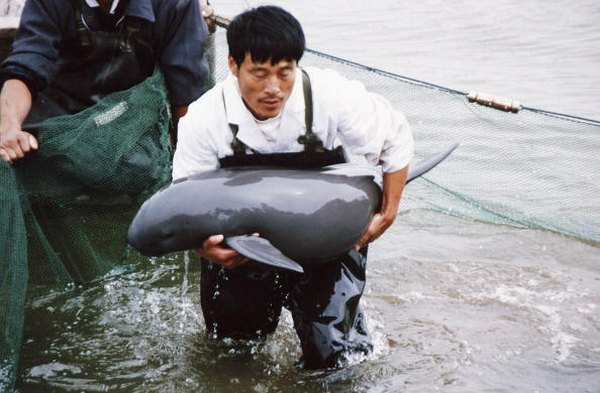 Because it is a fresh-water species, the Chinese river dolphin has nowhere to go to escape the pollution and development along the Yangtze River.
