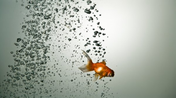 A goldfish's breathing rate is affected by water's percentage of dissolved oxygen.