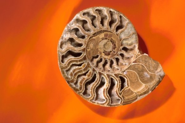 The sutures of ammonites fold and dip, unlike those of nautiluses, which are relatively straight.