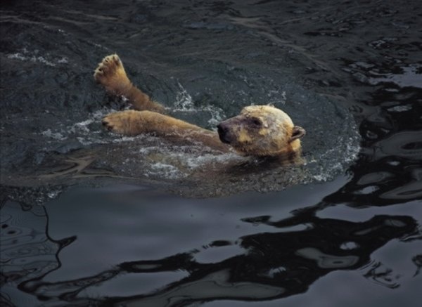 Polar bears fish and swim in tundra regions.