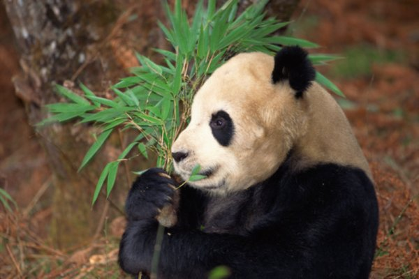 Many zoos across the world are working to increase panda populations.
