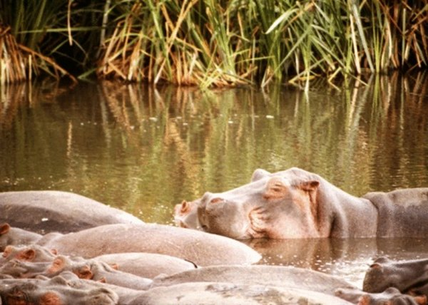 The hippopotamus stays cool in freshwater from the intense daytime sun and heat.