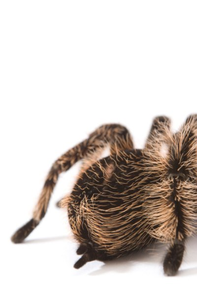 Tarantulas inject their victims with a paralyzing venom.