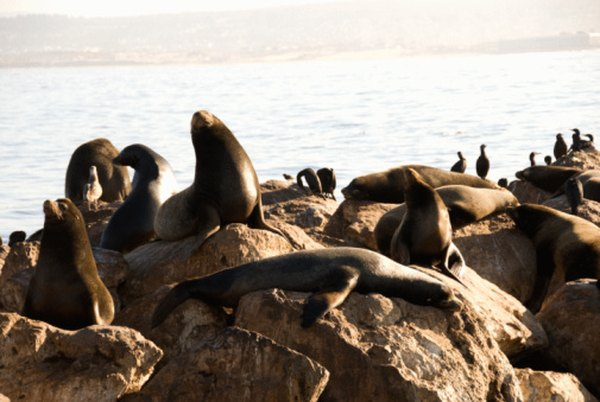 Sea lions frequent the California coasts every year.