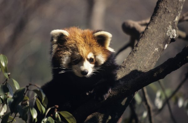 Strong jaws and teeth help the red panda chew bamboo stalks and leaves.