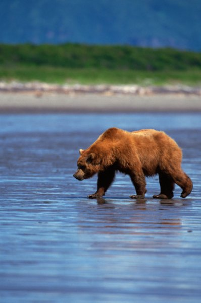 Grizzly bears round out their diet with fish and berries.