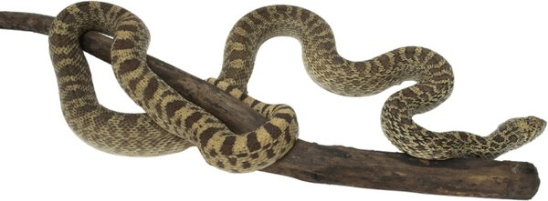 Gopher snakes can live 12 to 15 years in the wild.