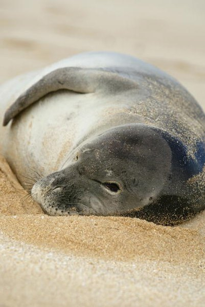 Scientists are struggling to understand why the population of Hawaiian monk seals has continued to decline.