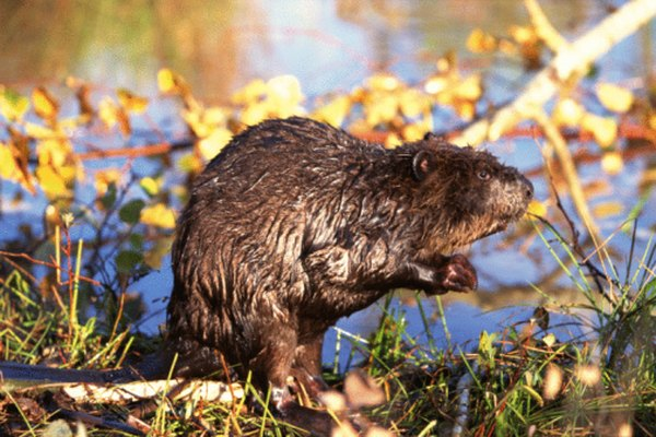 Beavers sleep either in bank burrows or chambered lodges.