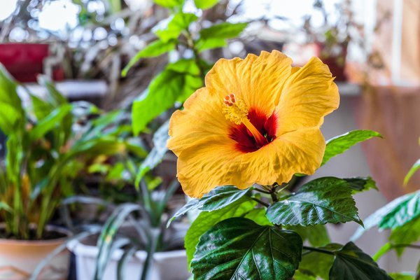 Will Hibiscus Bloom Indoors?   Home Guides   SF Gate on windmill palm house plant, periwinkle house plant, lantana house plant, baobab house plant, cereus house plant, pineapple house plant, papaya house plant, kentia palm house plant, acacia house plant, spanish moss house plant, mandevilla house plant, orange house plant, taro house plant, cinnamon house plant, bottle palm house plant, cabbage house plant, vanilla house plant, sorrel house plant, blue ginger house plant, colocasia house plant,