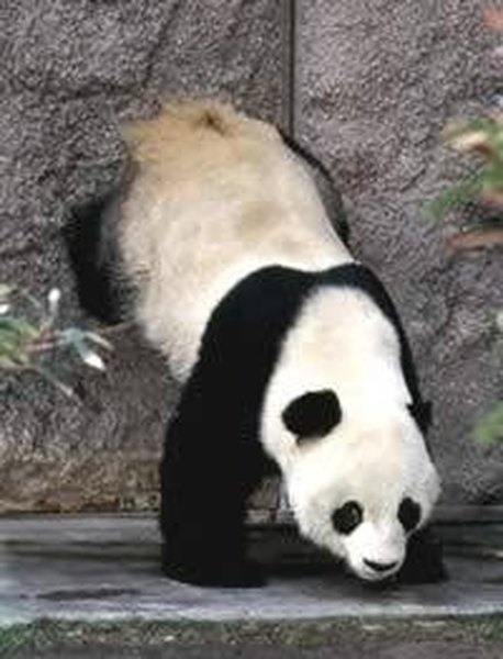 A giant panda scent marking with a head stand