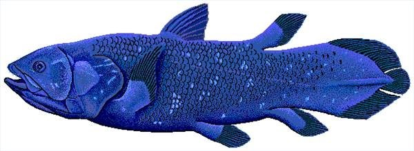 The rare coelacanth is also ovoviviparous. Image by Robbie Cada.