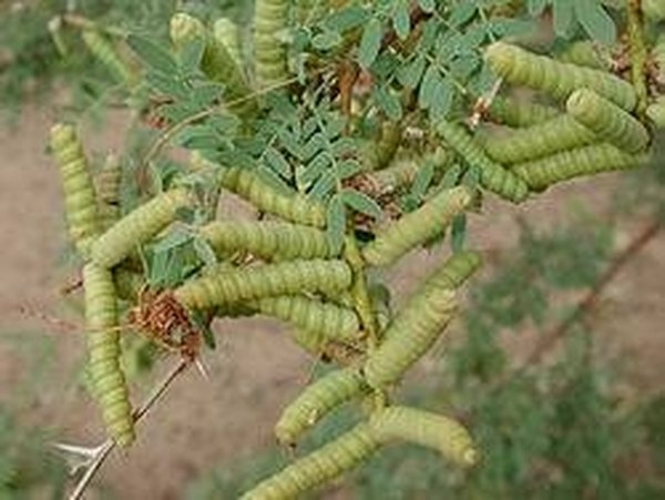 Screwbean mesquite pods