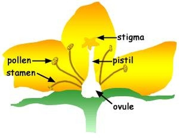 Parts of a flower--broccoli blossoms have them, too